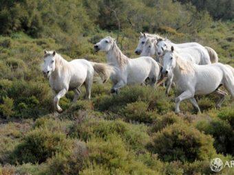A l'oreille du cheval Camargue